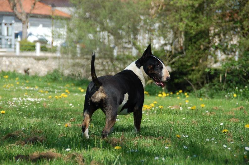 Bull Terrier - Thud and cuddles Gang bang paradise