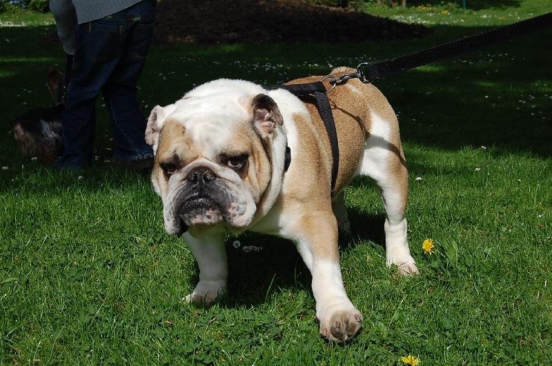 Les Bulldog Anglais de l'affixe de Sir Scratch and Co