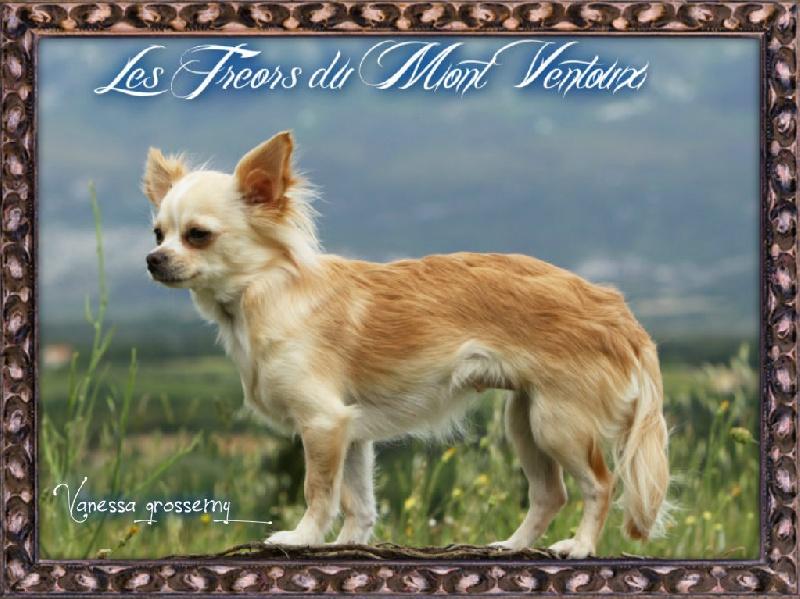 Les Chihuahua de l'affixe des Tresors du Mont Ventoux