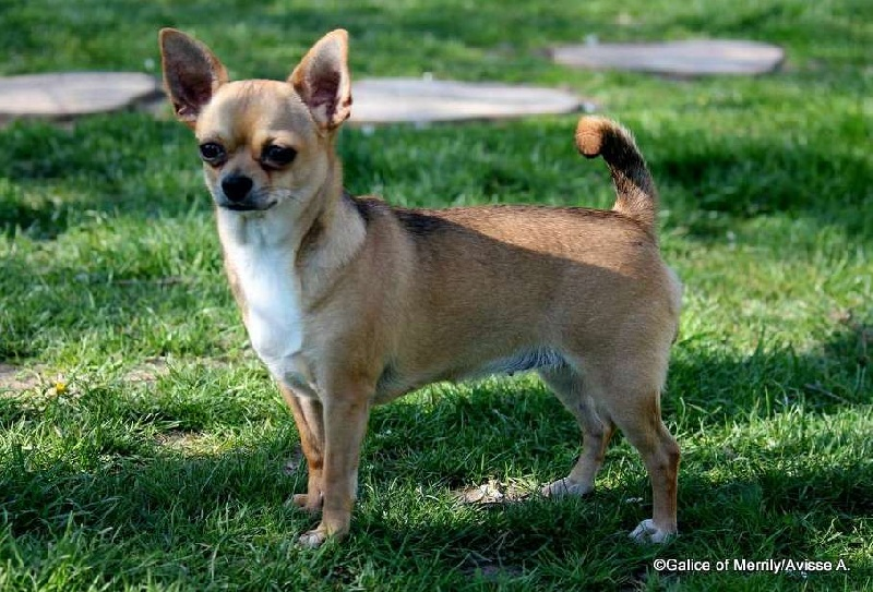 Les Chihuahua de l'affixe des aubépines de la Vilco