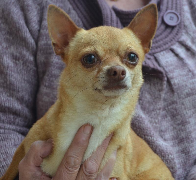 Les Chihuahua de l'affixe du Marquis de Longuelance