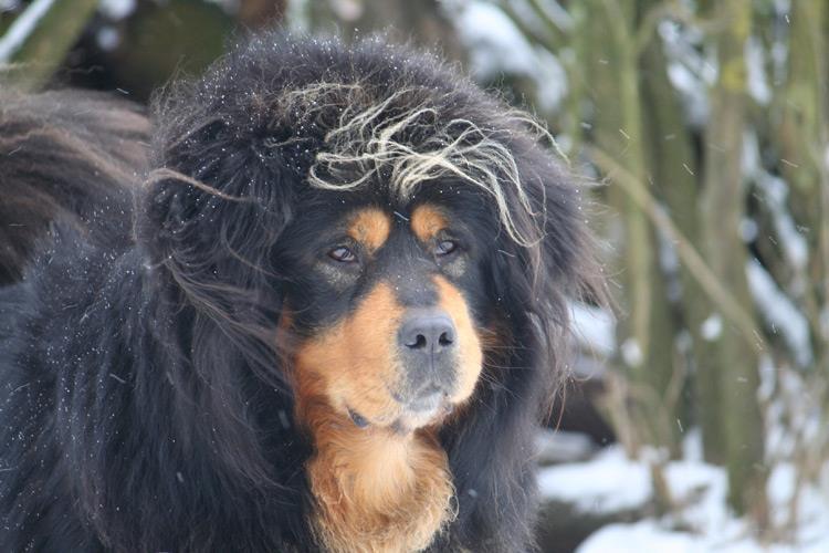 Les Dogue du Tibet de l'affixe de la Vallée du Kyl