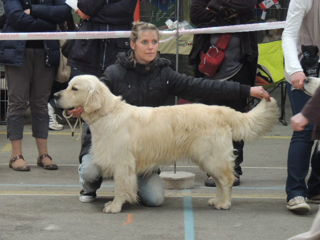 Les Golden Retriever de l'affixe des Anges de la Claie