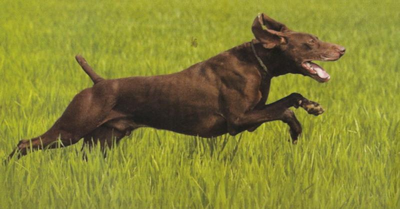 Le Standard de la race Braque allemand à poil court sur Atara.com