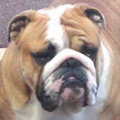 Les Bulldog Anglais de l'affixe du domaine de Cateline