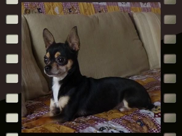 Les Chihuahua de l'affixe Pascal Dorinet