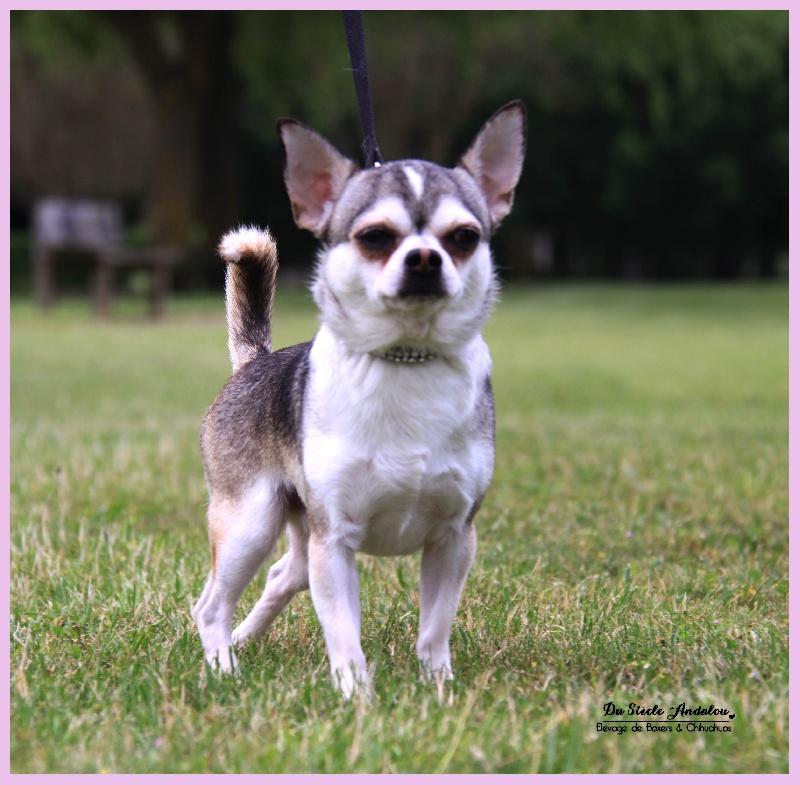 Les Chihuahua de l'affixe Du Siecle Andalou