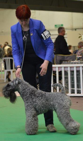 Kerry Blue Terrier - CH. Arkama Lamborghini