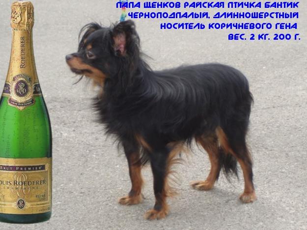 Le Standard de la race Russkiy Toy (Petit Chien Russe) sur Atara.com