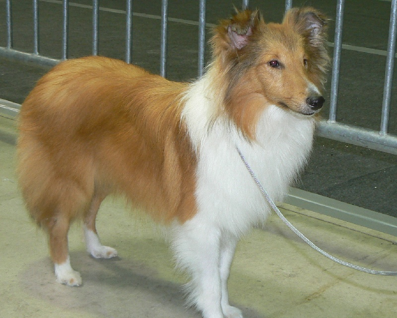 Shetland Sheepdog - Gwendor rei Des mille Eclats des Tournesols