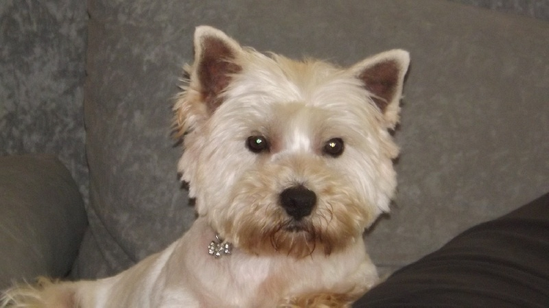 Les West Highland White Terrier de l'affixe Des Beaucemalous