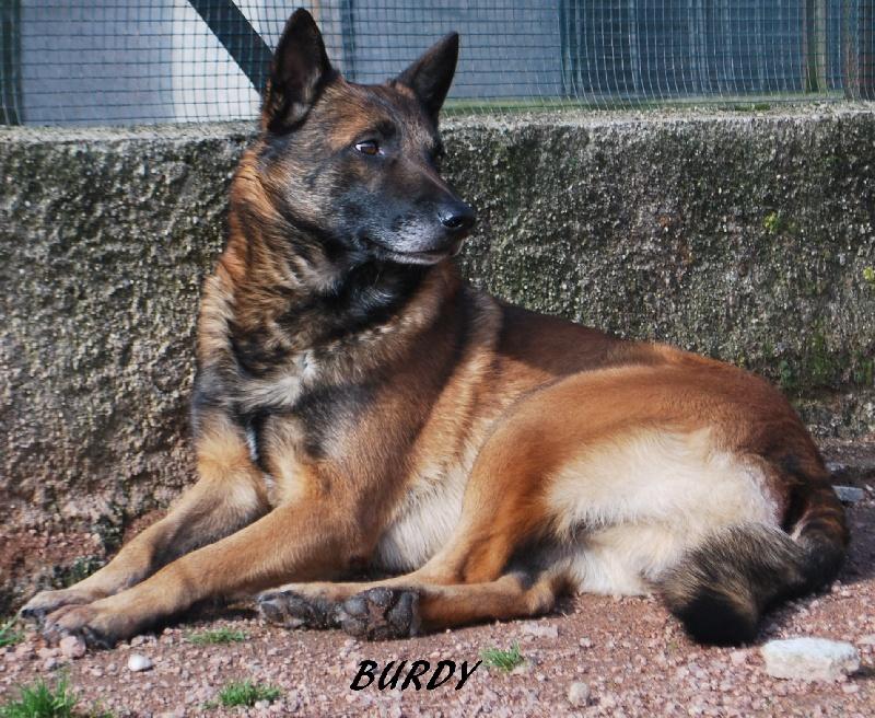 Berger Belge - Burdy