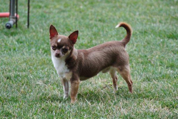 Les Chihuahua de l'affixe De Los Machucambos