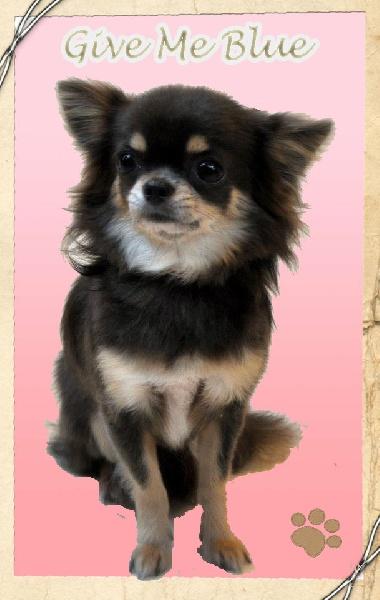 Les Chihuahua de l'affixe Des Minis Boss