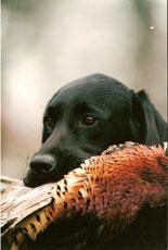 Les Labrador Retriever de l'affixe de galapian