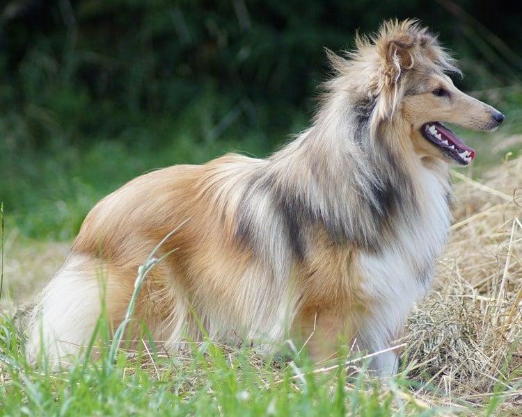 Shetland Sheepdog - H'ingénieuse axelle Du Val Des Delices De Chimene