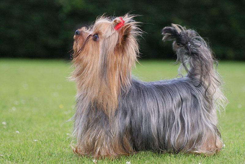 Les Yorkshire Terrier de l'affixe de la vallée du mainland
