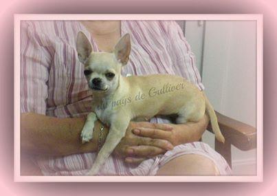 Les Chihuahua de l'affixe du pays de Gulliver