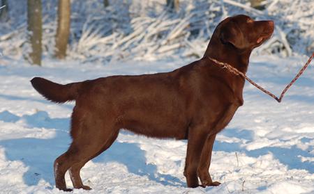Labrador Retriever - Givenchy du taillis madame