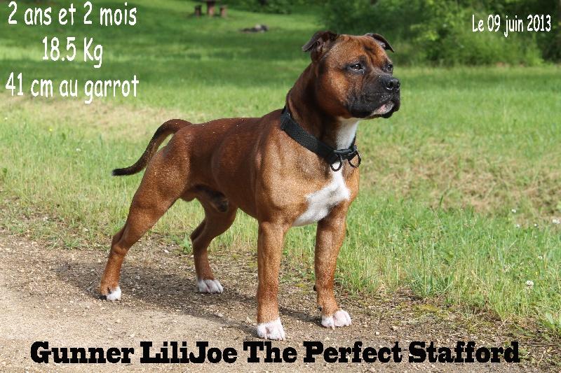 Gunner lilijoe The Perfect Stafford chien de race toutes