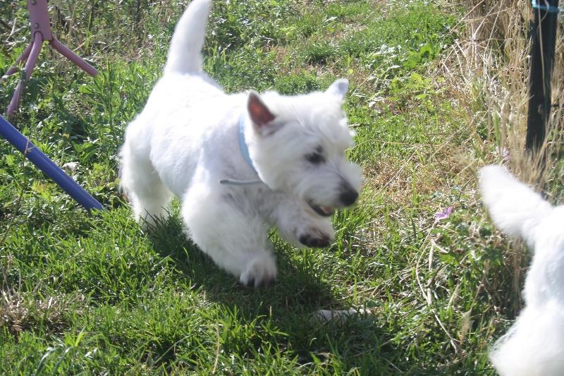 Les West Highland White Terrier de l'affixe La Seigneurie Du Domaine D'Eole