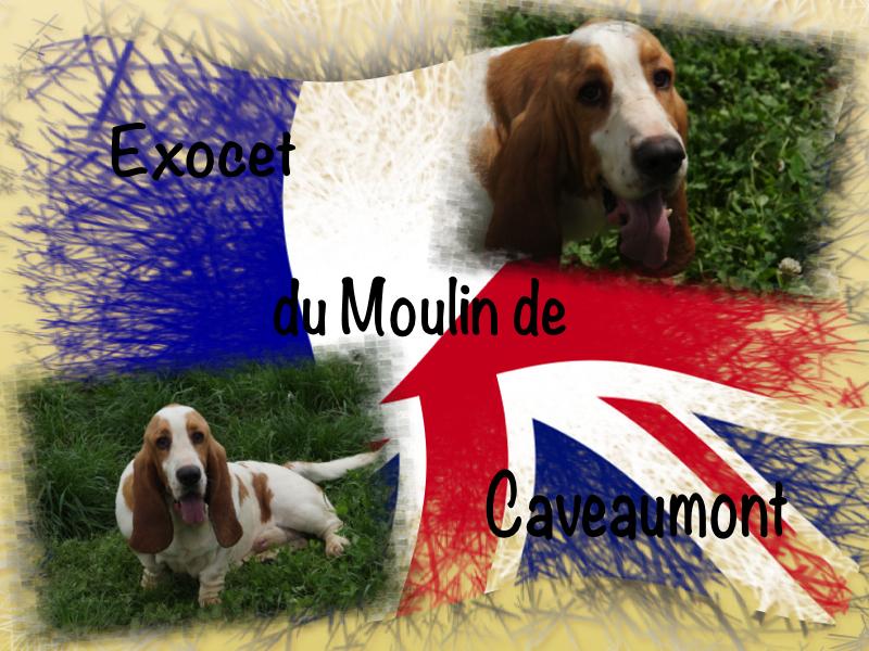 Basset Hound - Exocet du Moulin de Caveaumont