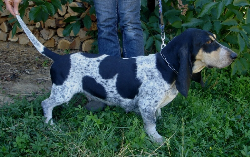 Standard officiel fci scc des chiens basset bleu de - France bleu gascogne grille des programmes ...