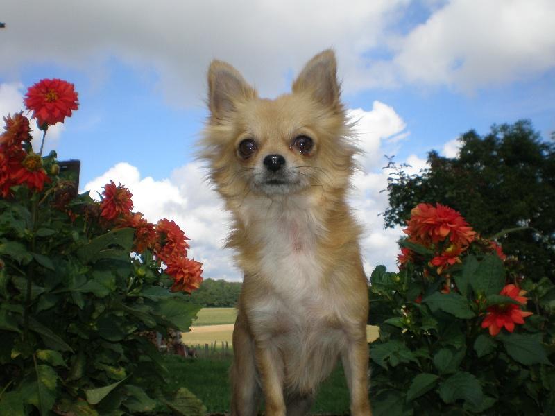 Les Chihuahua de l'affixe De La Ferme Des Carons