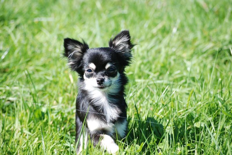 Les Chihuahua de l'affixe De La Grange D'Hollybug