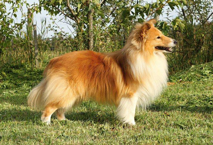 Shetland Sheepdog - CH. Microgarden's Look this way