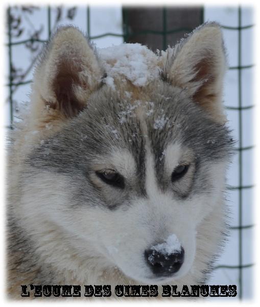 Siberian Husky - Halloa de l'écume des cimes blanches
