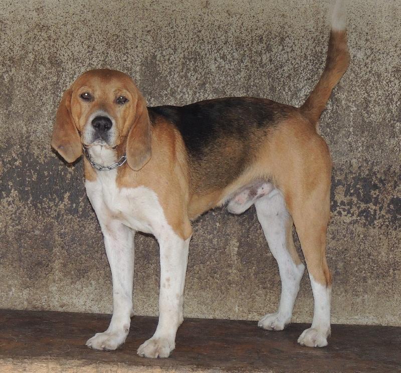 Beagle-Harrier - Dubis De kernilien