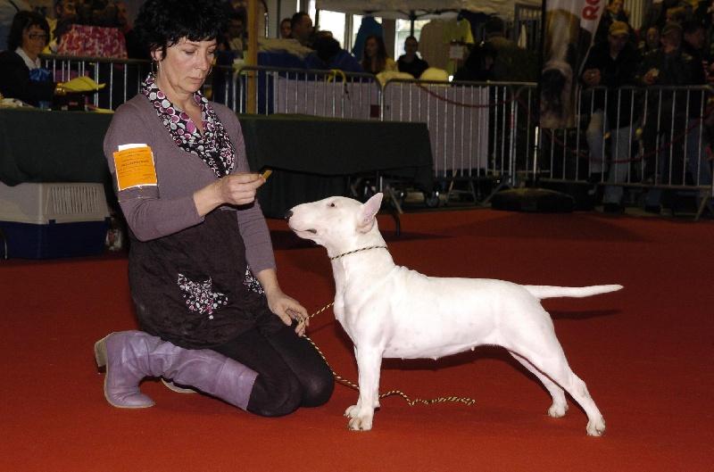 Les Bull Terrier Miniature de l'affixe Opalys Bulls