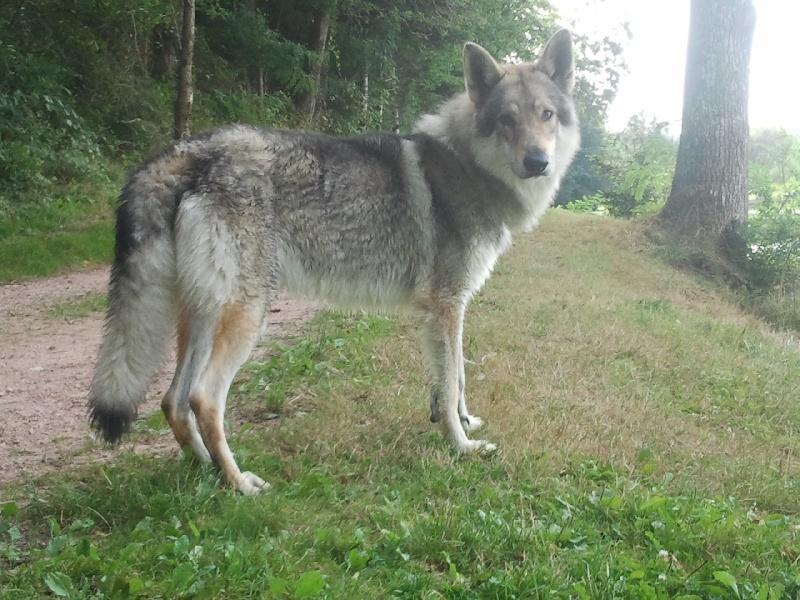 Les Chien-loup tchecoslovaque de l'affixe Du Domaine Des Loups De Jad