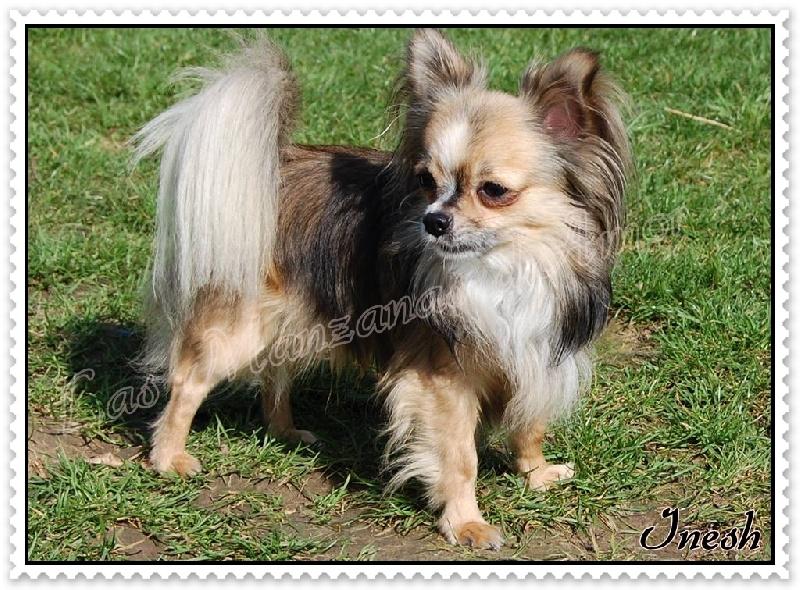 Les Chihuahua de l'affixe Las Manzanas D'amor