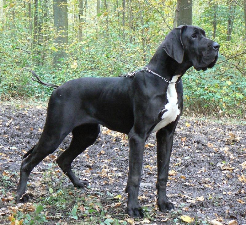 Chien - Elevage Dazelia - eleveur de chiens Dogue allemand