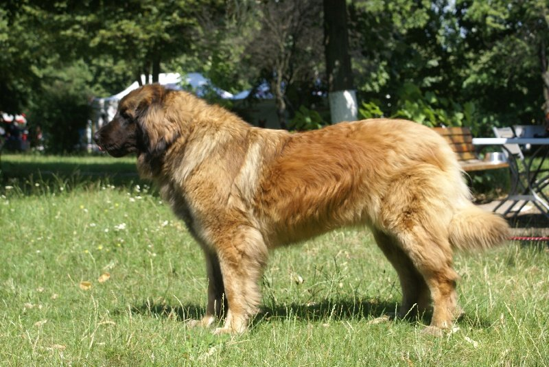 Leonberger - CH. Email 4 you member of the leogang