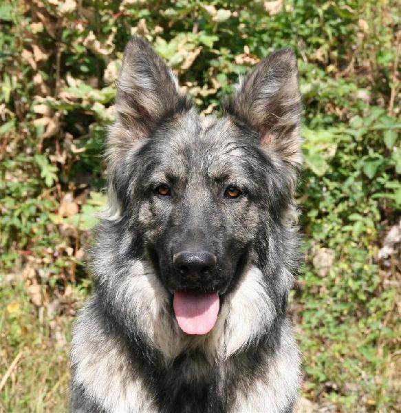Souvent Chien - Elevage de la légende du loup noir - eleveur de chiens  XN88