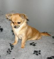 Les Chihuahua de l'affixe du Moulin de la Terrasse