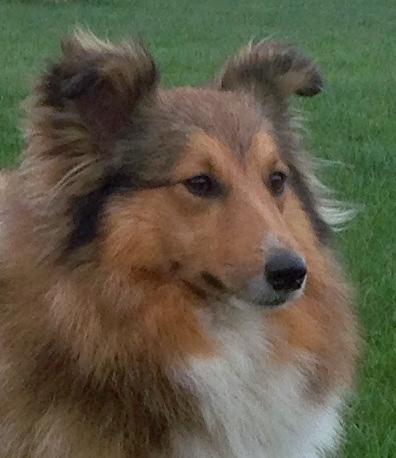 Les Shetland Sheepdog de l'affixe de la bergerie de morgane