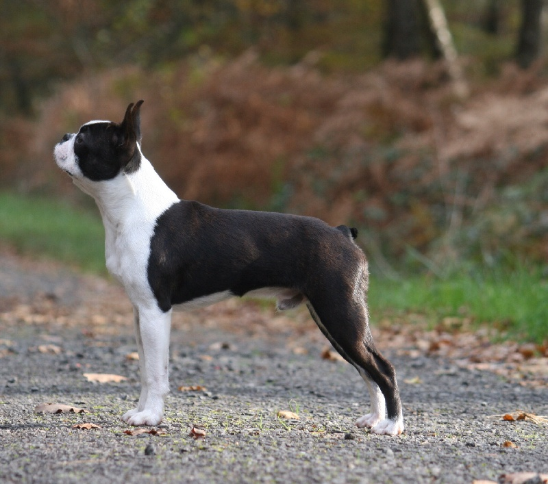 Boston Terrier - kennedy's Bee keeper at bois clerbault