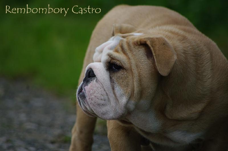 Les Bulldog Anglais de l'affixe Dreamlander