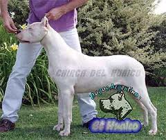 Le Standard de la race Dogo Argentino sur Atara.com
