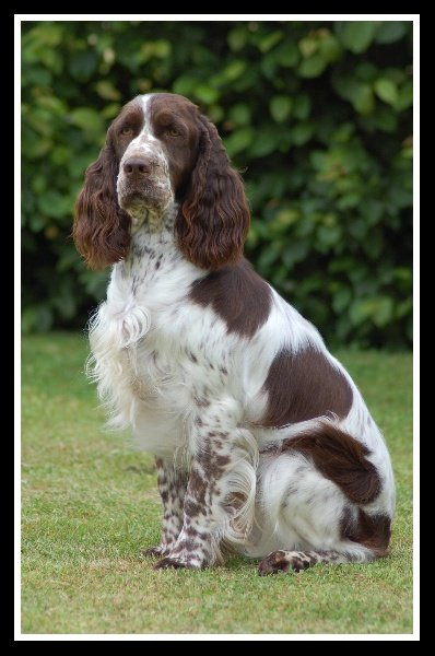 Les English Springer Spaniel de l'affixe de la vallée de la Maine