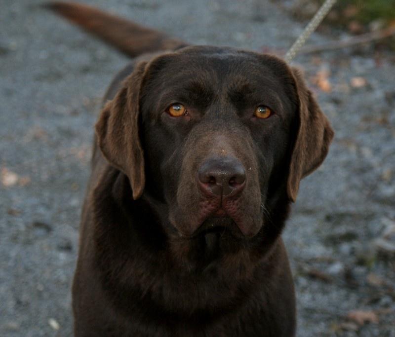 Les Labrador Retriever de l'affixe du domaine de luard