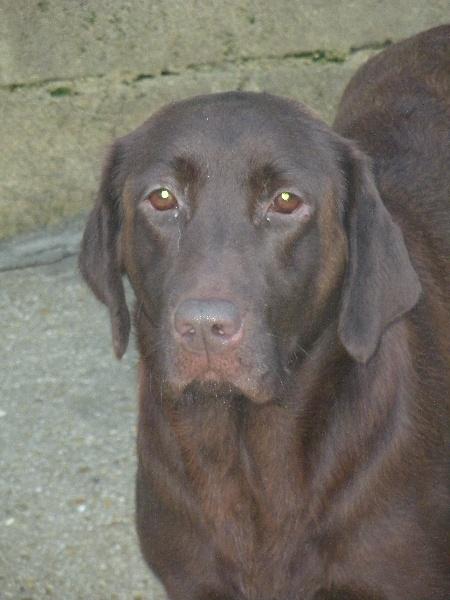Labrador Retriever - Elysee du Fond de la Noye