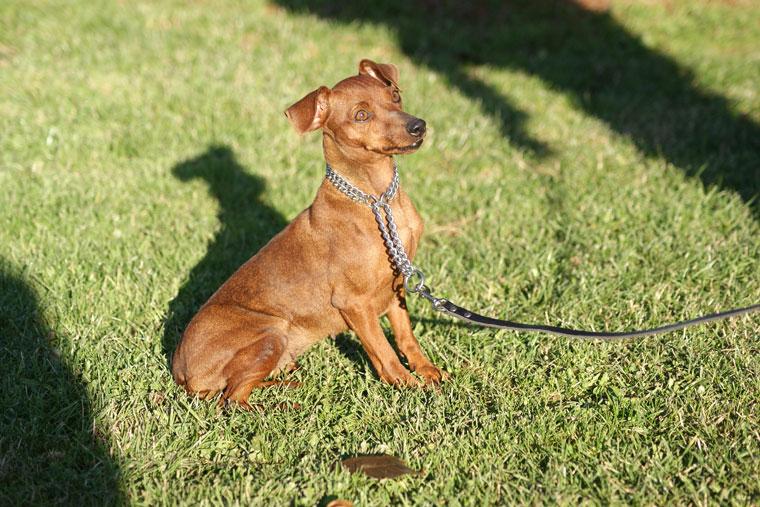 Le Standard de la race Pinscher nain sur Atara.com