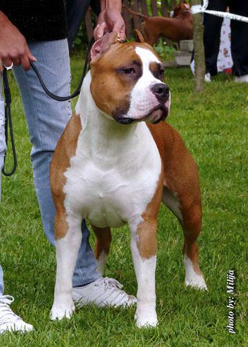 Chiens de France : Achats / Ventes de chiots de race ... American Staffordshire Terrier 2014