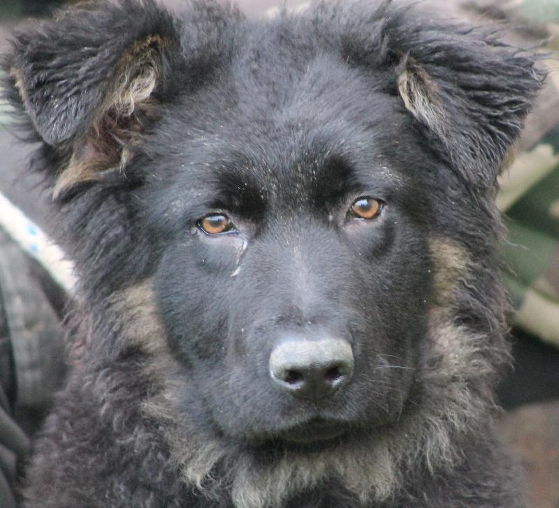 Fabuleux Iron Des Loups De L'Atlas chien de race toutes races en tous  CR81