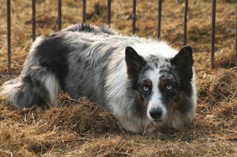Chien - Elevage von Lieblingen - eleveur de chiens Border
